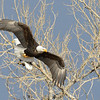 A bald eagle flies as another remains perched in the background.