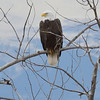 A bald eagle is perched with the Rocky Mountains in the background.