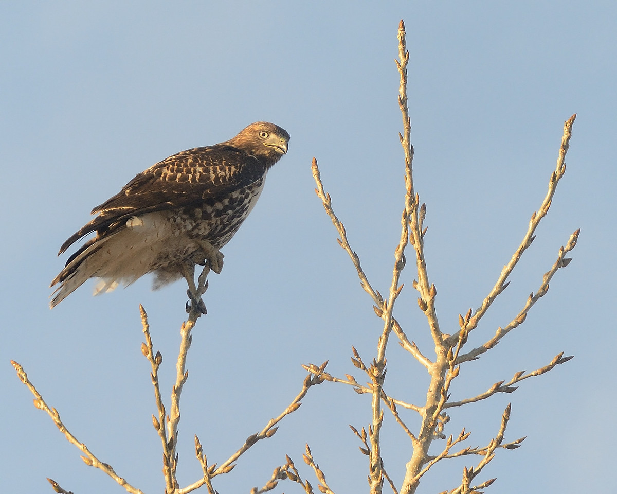 Wildlife in the fall at Cherry Creek State Park.  A Swainson's Hawk is perched atop a tree on a late fall afternoon.