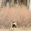 A buck at Cherry Creek state park looks around while grazing in grasslands.