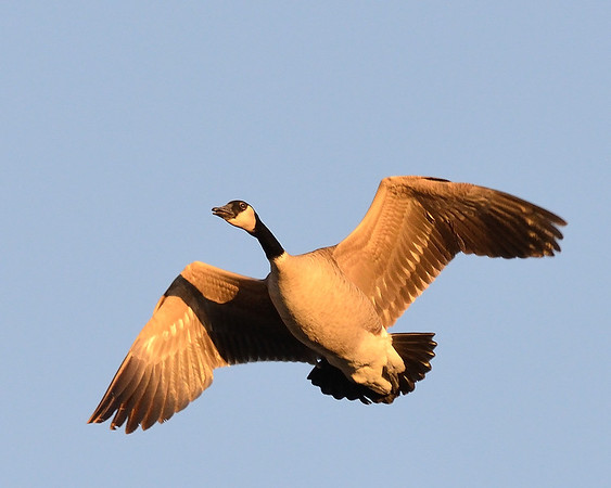 Canadian Goose flying at sunset at Cherry Creek State Park, CO in fall 2012.