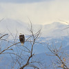 A bald eagle is perched with a distant Mt. Evans in snow clouds in the background.