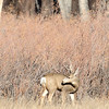 Buck checking his surroundings as he grazes at Cherry Creek State Park in the fall.
