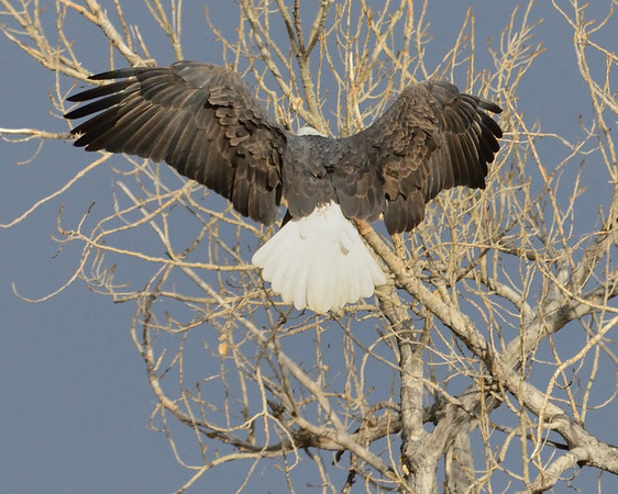 A bald eagle finds a place to land in Cherry Creek State Park.