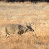 A buck at Cherry Creek State Park sticks its tongue out at gawkers.
