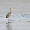 A Great Blue Heron stands on the ice in mid-December at Cherry Creek State Park.  It is kind of surprising to see this kind of bird still at the park at this time of year!
