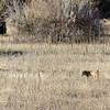 A coyote looks for a snack at mid-afternoon in Cherry Creek State Park.