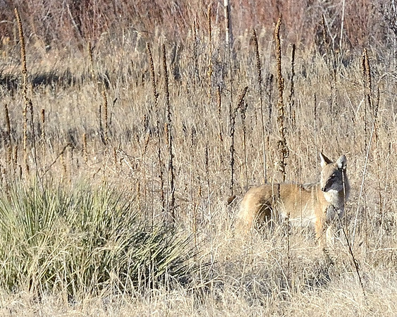 I spotted a coyote moving through grasslands at mid-afternoon at Cherry Creek State Park.