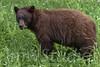 Whistler, B.C. Brown Bear