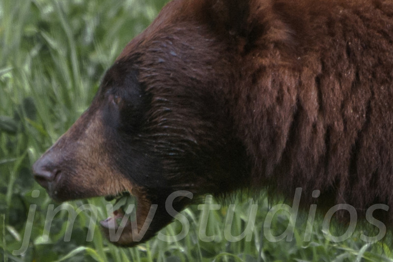 Whistler, B.C. Brown Bear