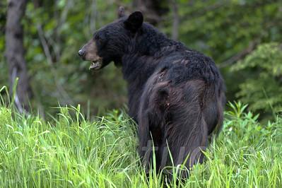 Whistler, B.C. Black Bear