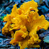 Golden chanterelles growing in the forest in summer.