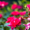 red roses with bokeh
