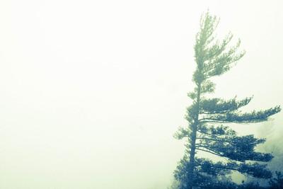 Pine in the Mist; Old Rag 2012