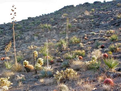 Agaves, yuccas, barrels