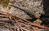 Cunningham's Skink (Egernia cunninghami p.216 Reptiles of Australia)