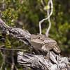 Jacky Lizard (Amphibolurus muricatus, p.322 Reptiles of Australia)