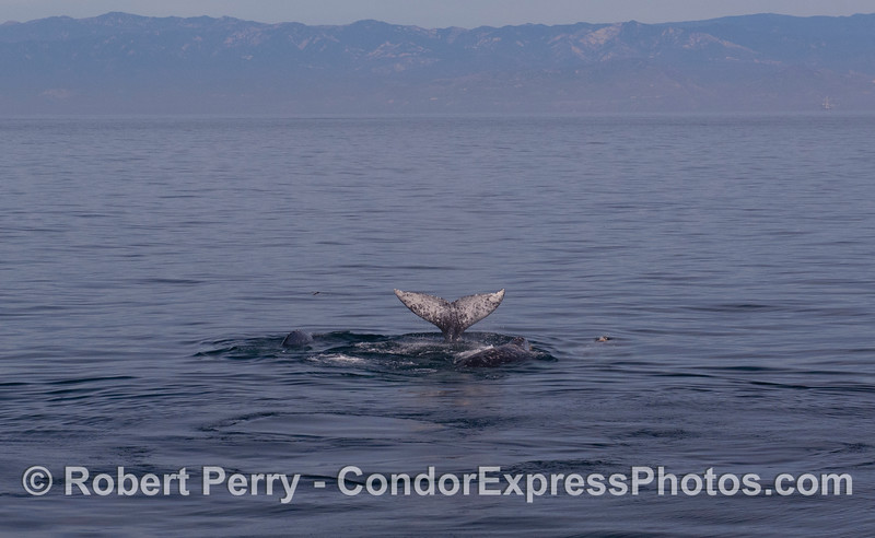 Multitudes of Gray Whales (<em>Eschrichtius robustus</em>) with the Santa Ynez Mountains in back.