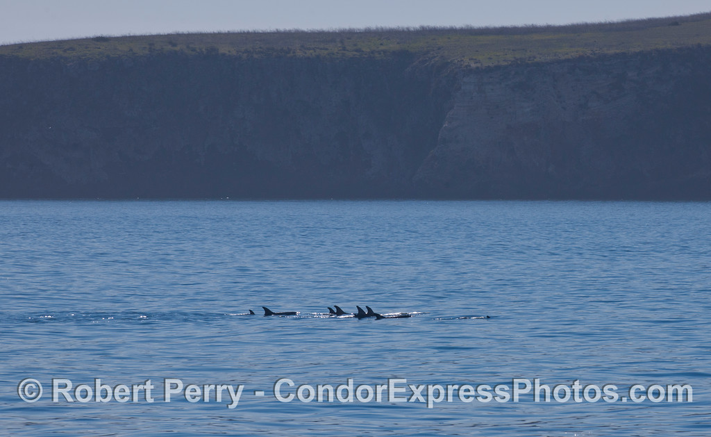 Risso's Dolphins (<em>Grampus griseus</em>) along the north face of Santa Cruz Island.