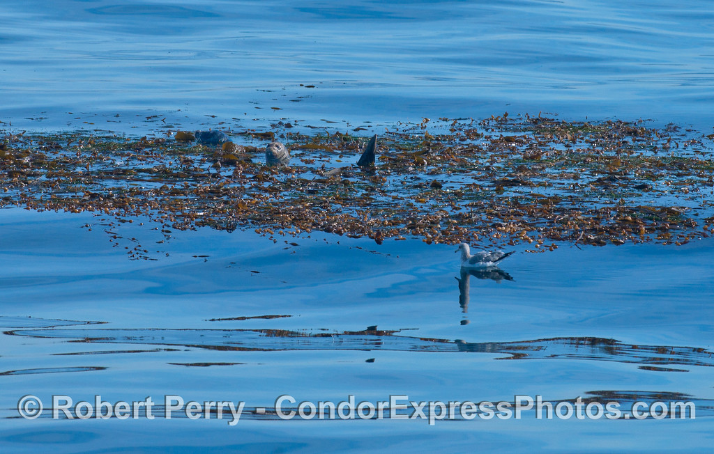 A detached and drifting paddy of Giant Kelp (<em>Macrocystis pyrifera</em>) provides a mid-Channel, offshore home for Harbor Seals (<em>Phoca vitulina</em>).