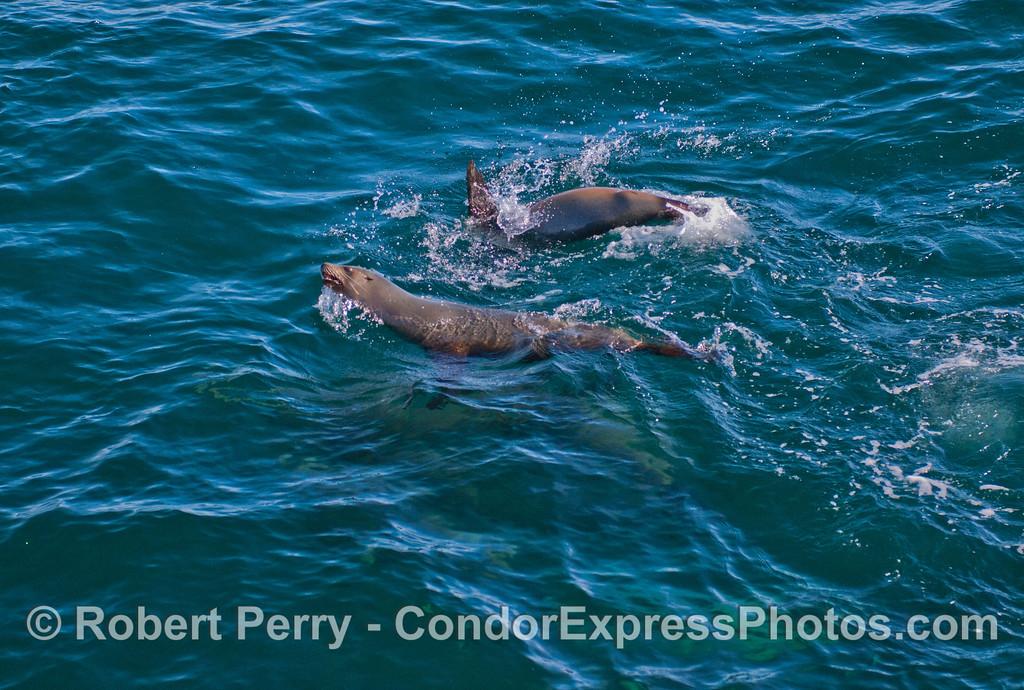 California Sea Lions (<em>Zalophus californianus</em>).