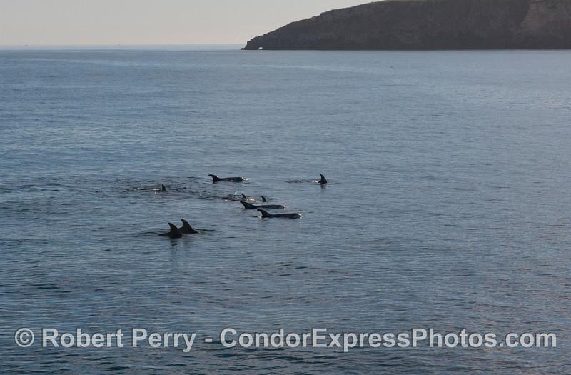 More Risso's Dolphins (<em>Grampus griseus</em>) near Pedro Point, Santa Cruz Island.