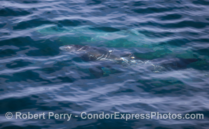 Abstract - Risso's Dolphins (<em>Grampus griseus</em>) underwater.