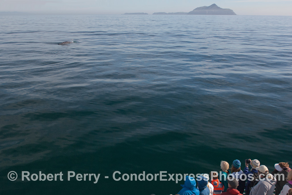 Guests aboard the Condor Express get great looks at a friendly Gray Whale (<em>Eschrichtius robustus</em>) with Anacapa Island in the background.