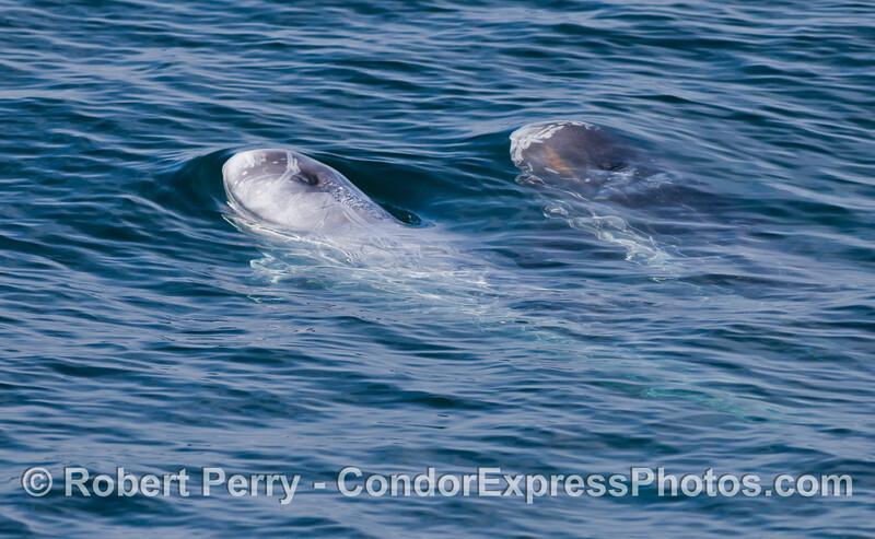 Two Risso's Dolphins (<em>Grampus griseus</em>).