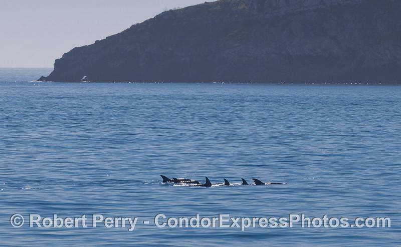 A pod of Risso's Dolphins (<em>Grampus griseus</em>) near Pedro Point, Santa Cruz Island.