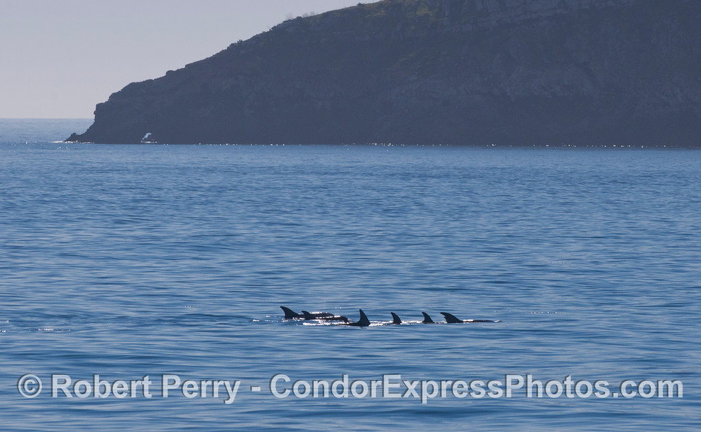 A pod of Risso's Dolphins (<em>Grampus griseus</em>) near Pedro Point, Santa Cruz Island.