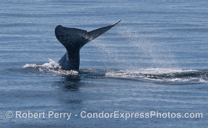 The morning light catches the spray from a fluking Gray Whale (<em>Eschrichtius robustus</em>).