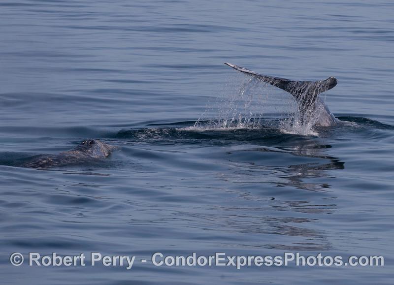 Gray Whales (<em>Eschrichtius robustus</em>).