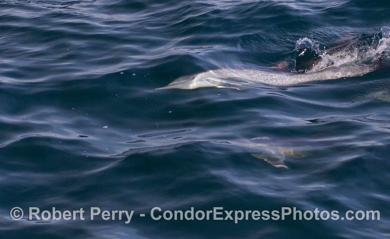 A Common Dolphin (<em>Delphinus capensis</em>) rolls on its side underwater and seems to smile.