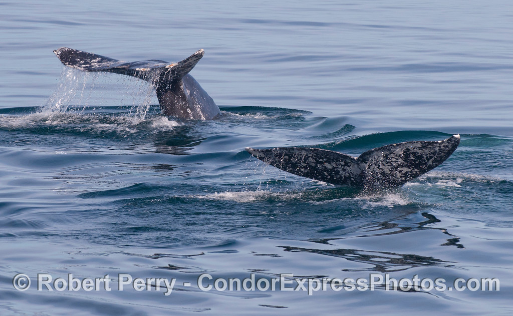 Twin tail flukes of diving Gray Whales (<em>Eschrichtius robustus</em>).