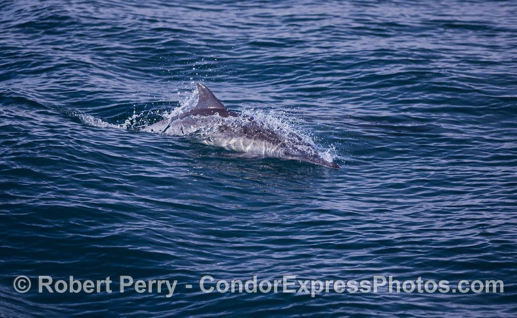 Common Dolphin (<em>Delphinus capensis</em>) on a dappled ocean surface.