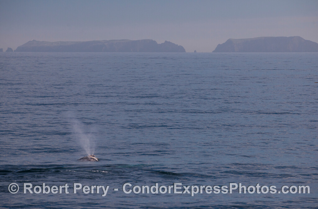 A spouting Gray Whales (<em>Eschrichtius robustus</em>) heads for Anacapa Island.