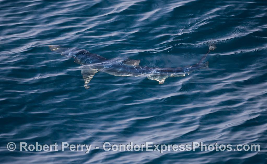 Blue Shark (<em>Prionace glauca</em>).