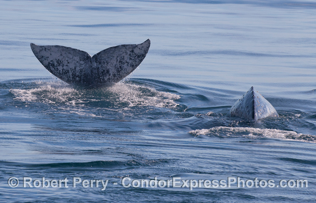 Two Gray Whales (<em>Eschrichtius robustus</em>).