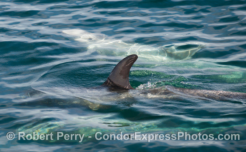 Risso's Dolphins (<em>Grampus griseus</em>) above and below the surface.