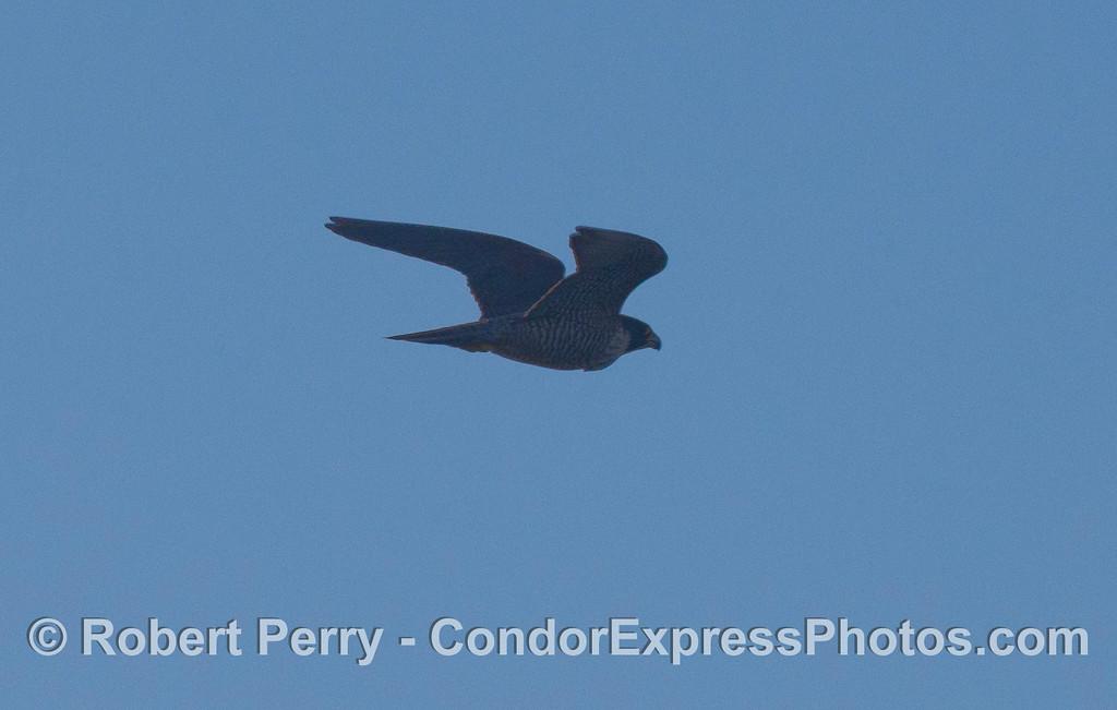 A Peregrine Falcon (<em>lco peregrinus</em>) flys over the Condor Express.