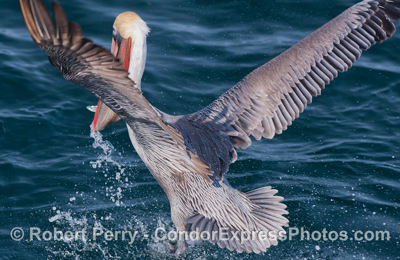 A very alive Brown Pelican (<em>Pelecanus occidentalis</em>) with a fish in its mouth.