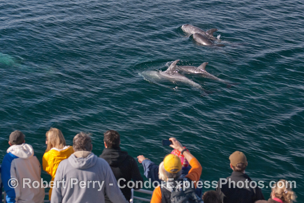 Guests aboard the Condor Express watch Risso's Dolphins (<em>Grampus griseus</em>) pass close to the boat.