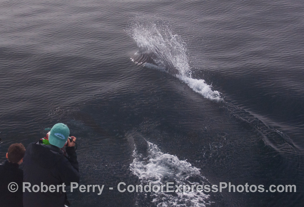 "Michael gets some great close up photos of Dall's Porpoises (Phocoenoides dalli) as they speed across the bow of the Condor Express sending up their characteristic ""rooster tail."""