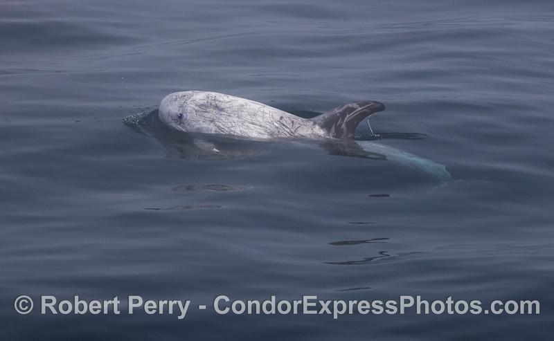 Another Risso's Dolphin (<em>Grampus griseus</em>).