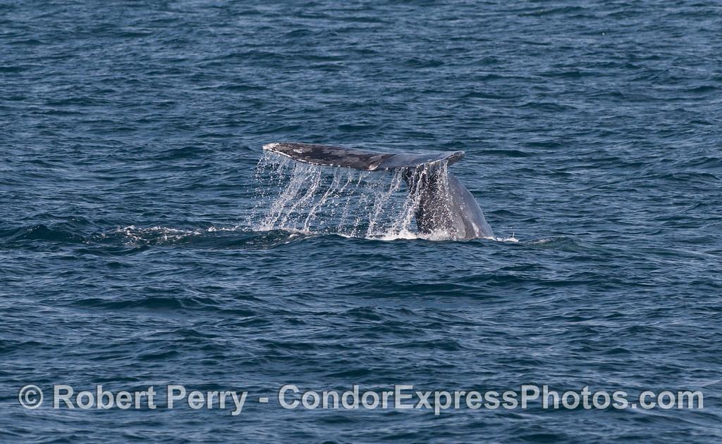 Tail of a Gray Whale (<em>Eschrichtius robustus</em>).