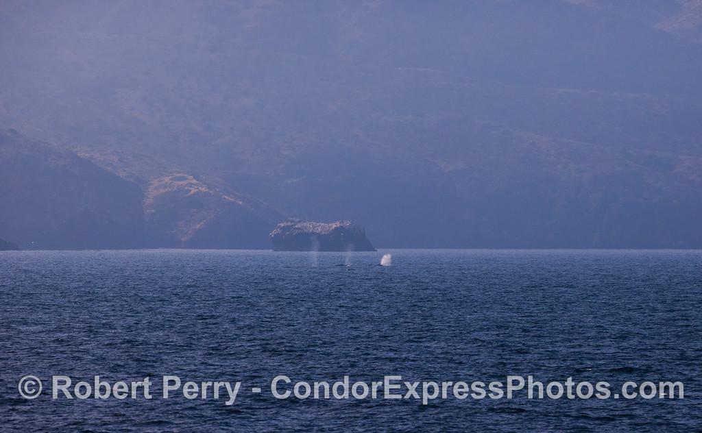 Three Gray Whales (<em>Eschrichtius robustus</em>) along the north face of Santa Cruz Island.