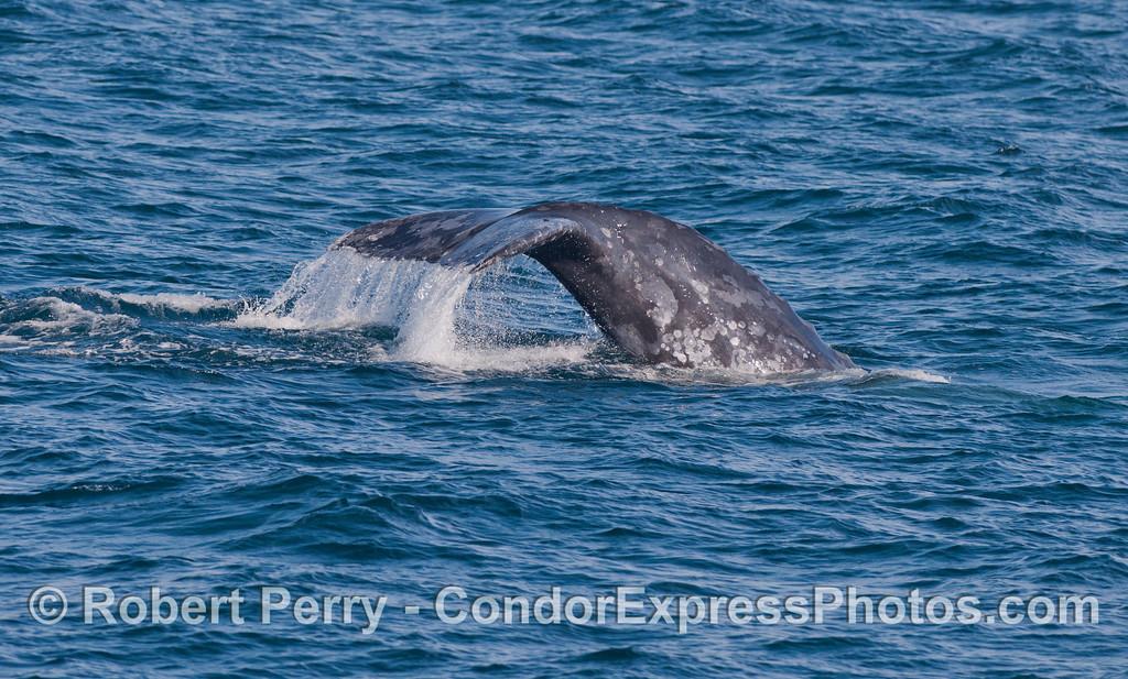 Gray Whale (<em>Eschrichtius robustus</em>) tail fluke waterfall.