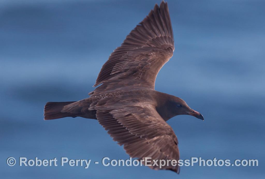 A juvenile Heermann's Gull (<em>Larus heermanni</em>) takes a look at the Condor Express.