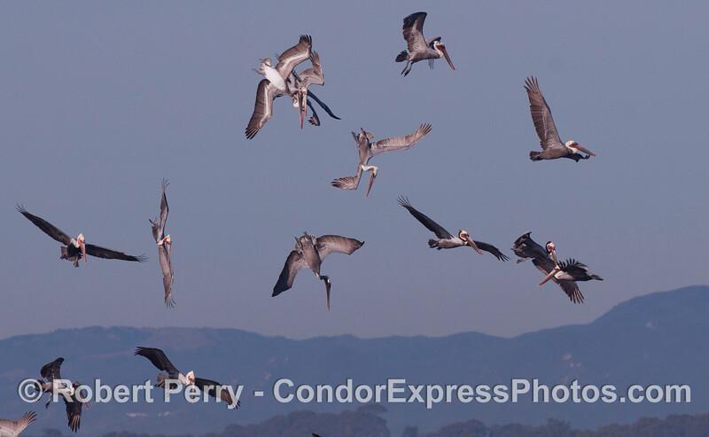 Brown Pelicans (<em>Pelecanus occidentalis</em>).